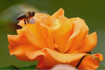 הדבורה מאיה זקוקה לעצה